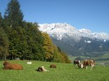 Cows grazing the alpine pastures - pure nature